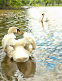 Two beautiful swans Royalty Free Stock Photo