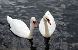 Two beautiful swans Royalty Free Stock Images