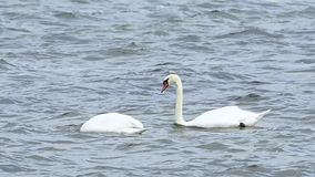 Two beautiful swans are swimming. In the water stock footage