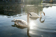 Two beautiful swans swimming. On water Royalty Free Stock Photography
