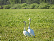 Two beautiful swans Stock Photos