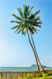 Two beautiful tall coconut palms at sunset Royalty Free Stock Photography