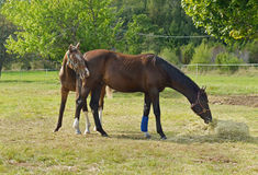 Two beautiful thoroughbred horse Stock Images