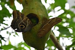 Two beautiful tropical Owl Butterflys, Caligo Memnon feeding on papaya fruit. Royalty Free Stock Images
