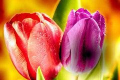 Two beautiful tulips flowers Royalty Free Stock Image