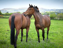 Two beautiful twin horses cleaning each other stock photos
