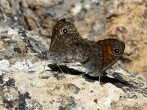 Two mating butterflies on stone royalty free stock image