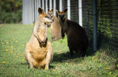 Two beautiful wallabies at the zoo, Brisbane, Australia stock photography