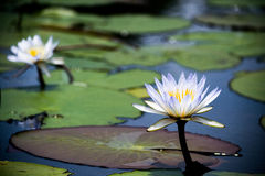 Two Beautiful Water lily Royalty Free Stock Photos