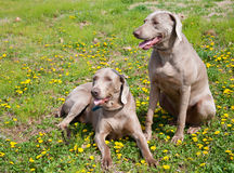 Two beautiful Weimaraner dogs Stock Photo