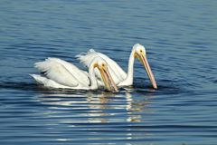 American white pelicans swimming and fishing for food. Two beautiful white American pelicans swimming and fishing for food Royalty Free Stock Image