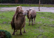 Two beautiful white bactrian camels together in a pasture, one adult and one juvenile, animal family portrait stock photo