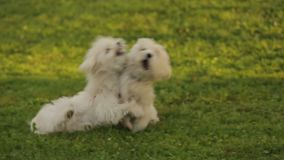 Two beautiful white dogs playing on the grass, fluffy pets enjoying the outdoors