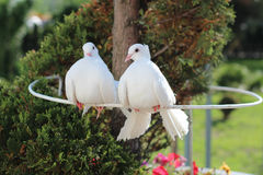 Two beautiful white dove, symbol of peace and love Royalty Free Stock Images