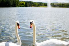 Two beautiful white geese swimming in a lake or pool and doing an heart shape with their heads. Love stock images