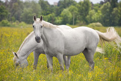 Two beautiful white horse grazing on a ranch. Two white horses in the meadow Royalty Free Stock Image
