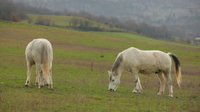 Two Beautiful White Horses Grazing In Pasture. Tranquil rural scene, animal theme. In the frame there are two beautiful white horses eating grass together at stock video