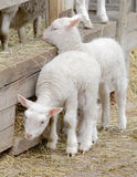 Two beautiful white lamb looking out from a sheepfolds Royalty Free Stock Photo