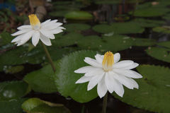 Two beautiful white lotus in a pond. close-up  , background Stock Image