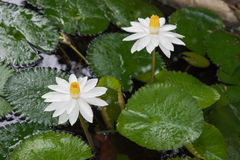 Two beautiful white lotus in a pond. close-up  , background Stock Photography