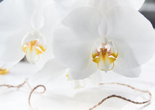 Two beautiful white Orchid macro stock photography