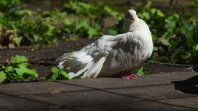 Two beautiful white pigeons communicate with each other. They extended their tails to show each other their beauty. stock footage
