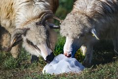 Two beautiful white sheep, male and female licking a salt crumb Stock Photos
