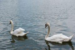 Two beautiful white swan swimming happy in the lake. Stock Photo
