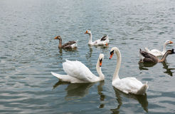 Two beautiful white swan swimming happy in the lake. Royalty Free Stock Photos