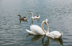 Two beautiful white swan swimming happy in the lake. Stock Photography