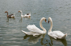 Two beautiful white swan swimming happy in the lake. Royalty Free Stock Image