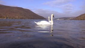 Two beautiful white swans swim on Abrau lake in search of fish. Beautiful white swans swim on the lake in search of rest and food. HD stock video footage