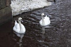 Two beautiful white swans swim on lake at winter season Royalty Free Stock Photography