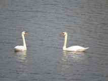 Two beautiful white swans swimming on the river stock image