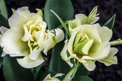 Two beautiful white tulips. Blossom against a background of green foliage Royalty Free Stock Image