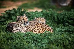 Two Beautiful Wild Cheetahs resting on green fields, Close up stock photos