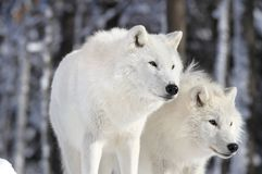 Two beautiful wolves Stock Photos