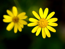 Two beautiful yellow flowers Royalty Free Stock Image