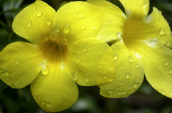 Two Beautiful yellow flowers with water drops Stock Photography