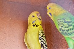 Two beautiful yellow and green budgies. royalty free stock photography