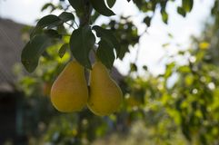 Two yellow pears on branches nearby royalty free stock images