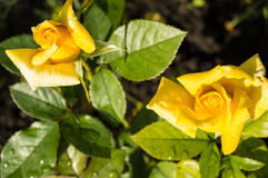Two beautiful yellow roses blooming in a garden background of green leaves and stems, the concept of postcards stock image