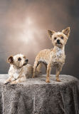 Two beautiful Yorkshire terriers. With a brown, golden background Royalty Free Stock Images