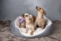 Two beautiful Yorkshire terriers laying in their basket Royalty Free Stock Photos