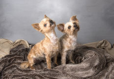 Two beautiful Yorkshire terriers. Sitting down Royalty Free Stock Images