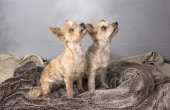 Two beautiful Yorkshire terriers. Sitting down Royalty Free Stock Photography
