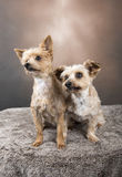 Two beautiful Yorkshire terriers sitting down. Two beautiful Yorkshire terriers sitting in front of a golden background Royalty Free Stock Image