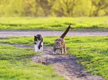 Two beautiful young cats run merrily through a green spring mead stock photography