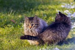 Two beautiful young cats together stock images