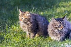Two beautiful young cats together royalty free stock photography